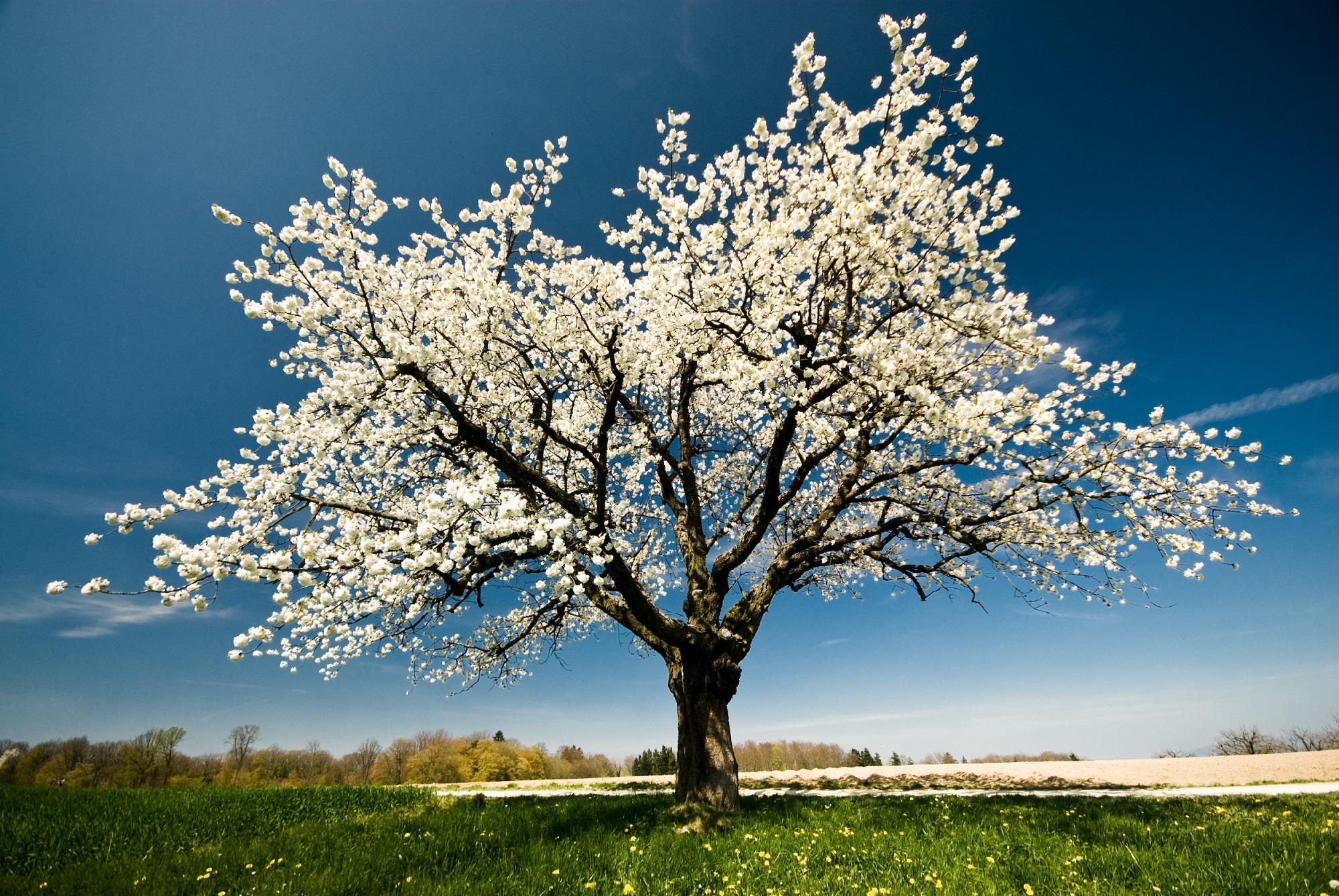 Afbeelding boom in bloei bij haptonomieplus, praktijk voor balans, bewustzijn en groei in Nijmegen